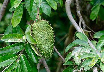 Le fruit et la feuille du graviola